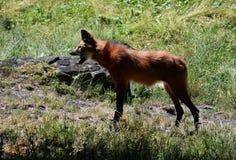 咆哮在绿色草甸的鬃狼 免版税库存图片