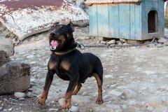 咆哮在链子的黑短毛猎犬显示牙和他的愤怒 免版税库存图片