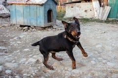 咆哮在链子的黑短毛猎犬显示牙和他的愤怒 库存图片