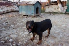 咆哮在链子的黑短毛猎犬显示牙和他的愤怒 免版税库存照片