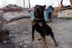 咆哮在链子的黑短毛猎犬显示牙和他的愤怒 库存照片