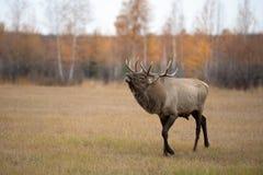 咆哮在rutting季节期间的一只马鹿雄鹿在秋天 免版税库存照片