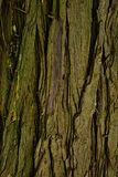 咆哮常青树和平的redcedar金钟柏Plicata木纹理  库存图片