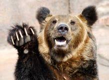 咆哮熊的褐色 免版税图库摄影