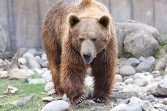 咆哮熊 免版税库存图片