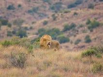 咆哮狮子的男 免版税库存照片
