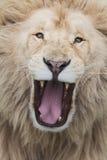 咆哮狮子 库存照片