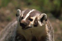 咆哮的獾 库存图片