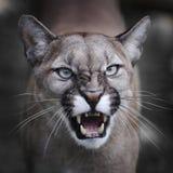 咆哮的美洲狮 免版税库存照片