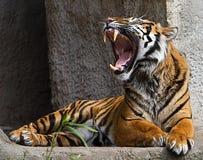 咆哮的老虎的射击的正面图关闭 免版税库存照片