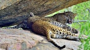 咆哮的豹子 在岩石的豹子 男和女性 库存照片