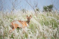 咆哮的鹿在草甸 库存图片