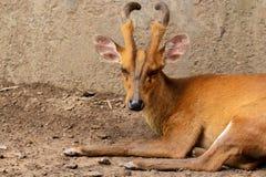 咆哮的鹿画象  库存照片
