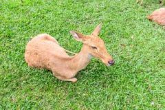 咆哮的鹿 库存照片