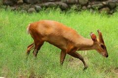 咆哮的鹿 库存图片