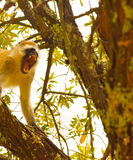 咆哮的黑长尾小猴 免版税库存照片
