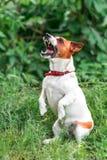 咆哮站立在它的后面爪子和查寻外面在绿草bl的小白色和红色狗起重器罗素狗画象  免版税库存图片