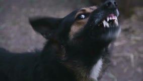 咆哮被触怒的牧羊犬户外 股票视频