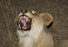 咆哮雌狮 图库摄影
