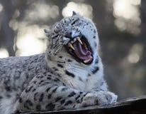 咆哮雪豹 免版税库存照片