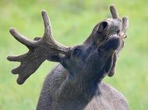 咆哮麋公牛(驼鹿属驼鹿属)的画象02 图库摄影