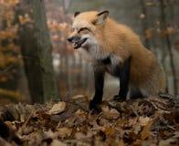 咆哮Fox在秋天 免版税图库摄影