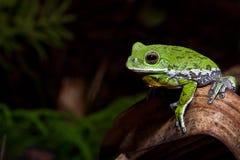 咆哮Treefrog (雨蛙gratiosa) 免版税库存照片