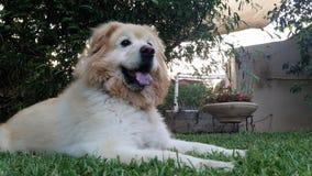 和休息坐草的一条大白色狗在后院庭院里 库存图片