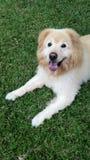 和休息坐草的一条大白色狗在后院庭院里 免版税库存图片