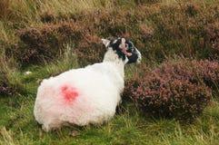和休息坐领域的唯一公羊 库存图片