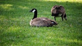 和哺养坐绿草草坪的加拿大鹅 股票录像