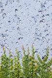 水和在墙壁上的上升的榕属 免版税库存图片