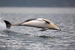 和平白支持的海豚飞跃 库存图片