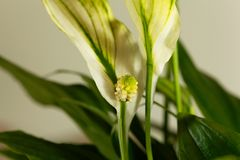 和平百合花Spathiphyllum floribundum 免版税图库摄影