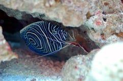 和平的擦净剂虾(Lysmata amboinensis)和年轻皇帝a 库存照片