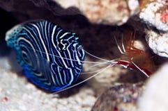和平的擦净剂虾(Lysmata amboinensis)和年轻皇帝a 免版税库存照片