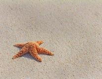 和平的海星(Asterias amurensis) 库存图片