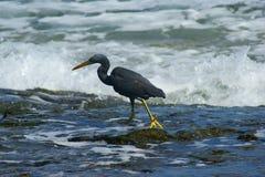 和平的礁石苍鹭 免版税库存图片