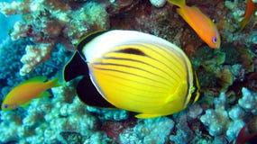 和平的红鳍淡水鱼Butterflyfish 免版税库存照片