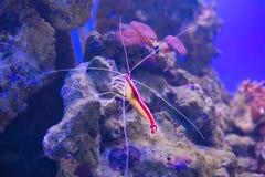 和平的虾 库存照片