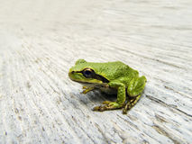 和平的雨蛙 免版税库存图片