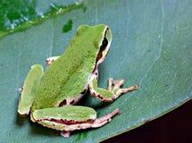 和平的雨蛙 免版税库存照片