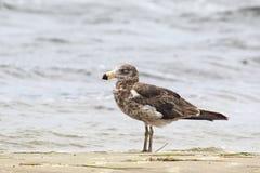 和平的鸥(鸥属Pacificus) 免版税库存图片