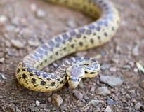 和平的穴蛇- Pituophis catenifer catenifer,在防御姿势的成人,圣克鲁斯山,加利福尼亚 免版税库存照片