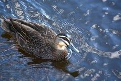 和平的黑鸭 免版税图库摄影