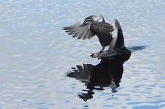 和平的黑鸭 库存照片