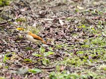 和平的hornero, Furnarius leucopus cinnamomeus,寻找食物, Mindo,厄瓜多尔 免版税图库摄影
