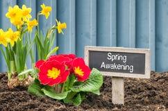 黄水仙和报春花与唤醒标志的春天 免版税图库摄影