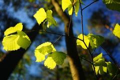 年轻和新鲜的春天叶子 库存照片