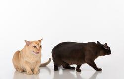 黑和明亮的布朗缅甸猫夫妇 背景查出的白色 免版税库存照片